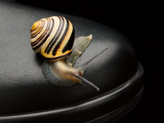 Garden snail on a boot