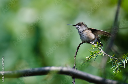Ruffled Hummingbird Perched on an Evergreen Branch