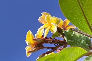 frangipanier jaune, fleur des temples