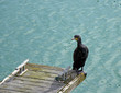 Cormorant on Dock