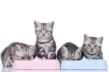 Vier britisch Kurzhaar Kätzchen fressen in Reihe