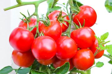 Tomatenpracht