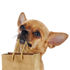Red chihuahua dog with recycle paper bag isolated on white backg
