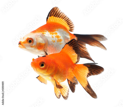 Goldfish, group of fish on a white background