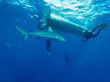 Caribbean reef sharks (Carcharhinus perezi) and scuba-divers
