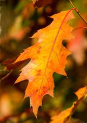 Blatt der Rot-Eiche im Herbst