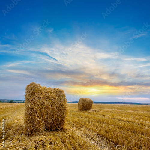 evening wheat field