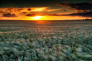 evening wheat field. summer landscape
