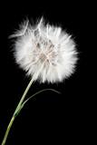 dandelion - 58116675