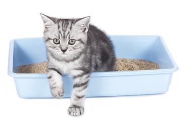 Britisch Kurzhaar Kätzchen im KatzenKlo