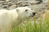 Curious Polar Bear in the grass