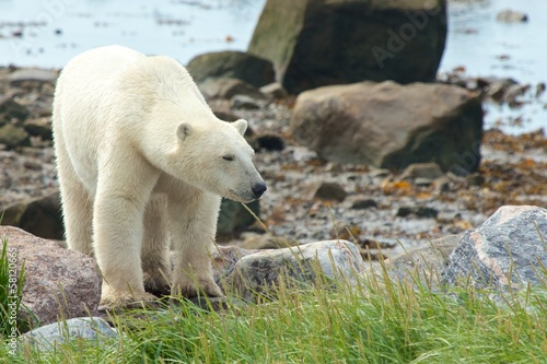 Polar Bear coming at shore 3
