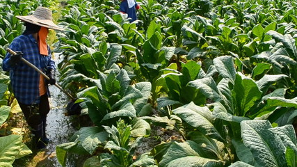 farmer working plants tobacco in farm of thailand