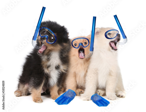 Pomeranian Puppies Wearing Snorkeling Gear