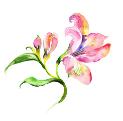 Watercolor delicate lily