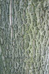 Walnut tree texture background