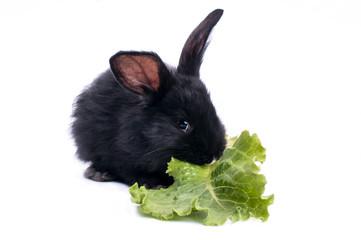 cute black rabbit eating green salad