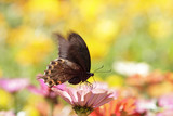 butterflies flying in cosmos flowers