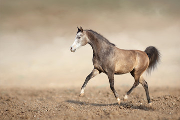 Grey horse running trot on the sands