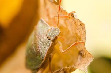 Brown Stink Bug Or Shield Bug