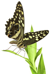 papillon sur Dracaena Sanderiana