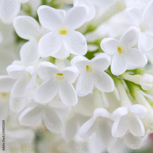Aluminium Lilac Blooming lilac flowers