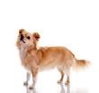 Chihuahua – im Profil