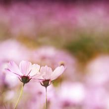 champ de fleurs marguerite