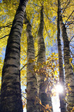 autumn time forest birches and sunlight