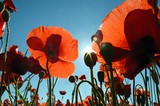 Beautiful poppies in the sun against the sky