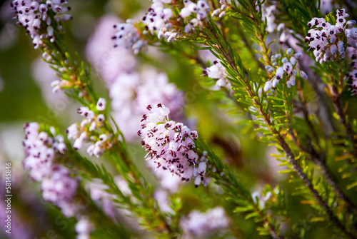 Light pink heath plant blossoming close up