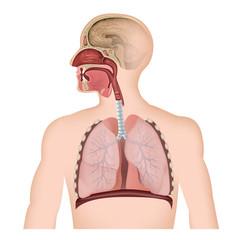 Anatomie der Atemwege