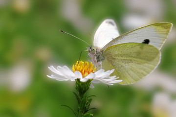 white cabbage butterfly sitting on a wild flower