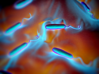 These Gram-negative rod-shaped bacteria have a single polar flag