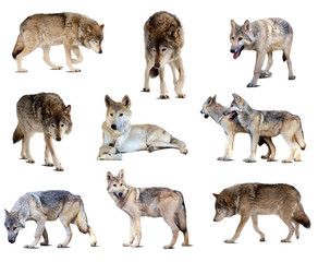 Set of gray wolves. Isolated  over white
