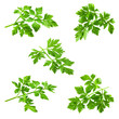 Collection of parsley isolated on white