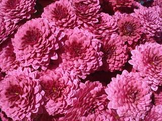 Velvety purple small chrysanthemums in the sunlight