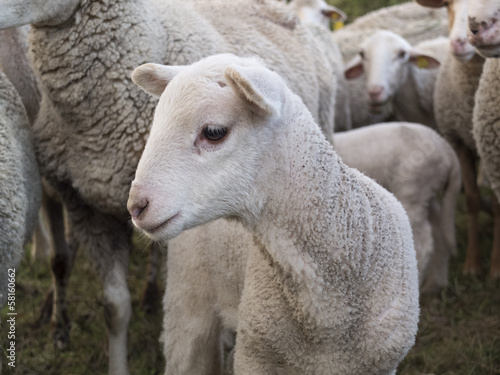 Papiers peints Sheep Agneau
