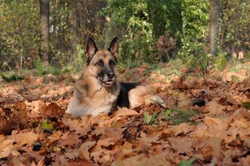 Deutscher Schäferhund liegend im Herbstlaub