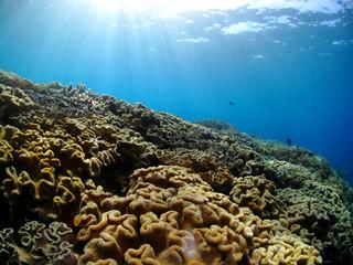 光が差し込む水中に育つ珊瑚