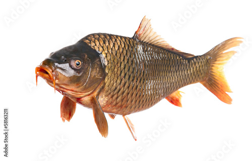 carp fish isolated