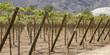 Vineyard vines. Chile