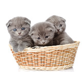group british shorthair kittens in basket. isolated on white  - 58165816