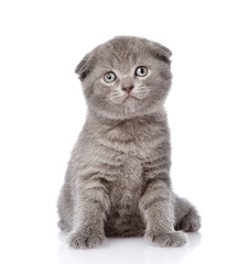 little british shorthair kitten sitting in front. isolated
