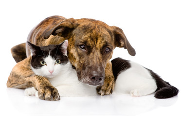 mixed breed dog and cat lying together. isolated on white