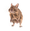 Degu isolated on white background