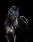Black horse isolated on black background