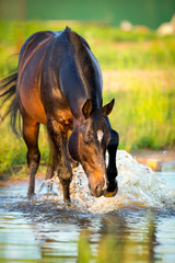 Horse splashing in the water