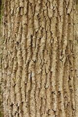 ecorce chêne