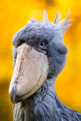 Abu markub, Shoebill bird